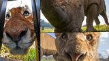 Šelmám tváří v tvář: Odvážný fotograf se nechává zavřít na safari v kleci