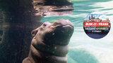 V pražské zoo pokřtili malého Fandu: Jméno pro hroší batole vybrali čtenáři Blesku