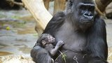 """Gorilí """"holčička"""" nebo """"chlapeček""""? Zoo sází na druhou variantu, raději chtěla samičku"""