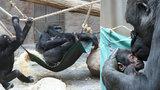 Tlupa se sžívá s gorilím mládětem: Benjamínek Nuru na miminko »žárlí«
