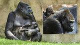 Gorilí mládě vzala máma ven: Čerstvý vzduch mu prospívá, říká Vít Lukáš z pražské zoo