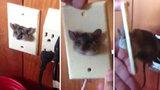 Elektromyš: Muž našel v zásuvce uvězněného hlodavce