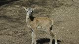Dva malí mufloni a tři mufloní slečny: V zookoutku v Chuchli budou křtiny