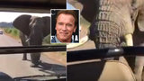 Terminátora Arnolda Schwarzeneggera vyděsil slon, který na něj útočil na safari