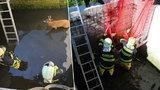 Náročný odchyt srnce v Jablonci: Zvíře skočilo do jímky a záchraně se bránilo