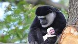 V pražské zoo se narodilo mládě guerézy. Opička připomíná beránka