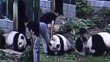 Frajírek vlezl do výběhu s pandou, aby zapůsobil na holky. Šelma ho přeprala a pokousala