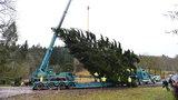Praha má vánoční strom pro Staroměstské náměstí. Letos pochází z Křivoklátska