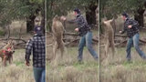 Rocky vs. Skippy: Kvůli psovi dal klokanovi pěstí!