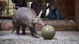 Kulatiny v Zoo Praha: Hrabáč Draco oslavil 10 let, popřál mu herec Táborský