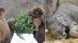 Zvířata v pražské zoo stojí na vánoční stromy frontu. Sloni jsou už přecpaní