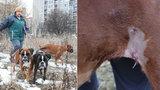Divočáci útočili na Černém Mostě. Napadená Zuzana (54) popsala: Nebýt mých fen, jsem už asi mrtvá!