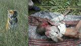 Vesničané odchytávali tygra: Zabil už šest lidí, musela na něj nastoupit hlídka se slony