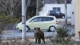 """Fukušimu ovládly """"gangy"""" radioaktivních divočáků. Lovci je nestíhají střílet"""