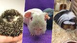 Králík jako paruka, holé morče s čírem a exotický ježek: V Modřanech se sešli podivní tvorové