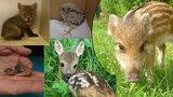 Která mláďata divokých zvířat potřebují vaši pomoc? Neberte je rodičům zbytečně