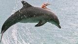 Hyjé! Chobotnice se svezla na delfínovi, který ji chtěl sežrat