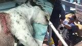 Děsivé video: Jeho psa napadli pitbulové, vrhl se mezi ně, aby ho zachránil