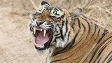 Horor v zoo: Tygr roztrhal ošetřovatelku! Návštěvníci museli být evakuováni