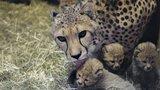VIDEO: Gepardím »miminkům« je už měsíc. Návštěvníkům Zoo Praha se ukážou v srpnu