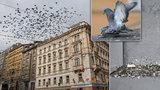 Praha bojuje s holuby a jejich trusem: Ničí památky, přenáší nemoci