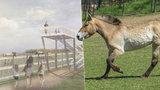 Koně Převalského na kopci u Smíchova: Zoo na Dívčích hradech postaví výběh