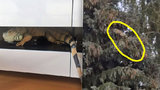 Kuriózní zásah hasičů: Dvoumetrový leguán utekl na strom k sousedovi