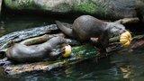 Podzimní prázdniny a svátek v Zoo Praha: Zvířata čekají dýňové hody