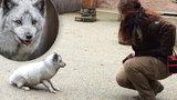 Ochočený polární lišák Deny: V Zoo Praha si na Štědrý den chystá »majstrštyk«