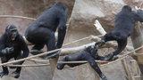 Hrátky gorilích brášků v pražské zoo: To je opičí honěná!