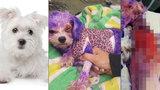 Krutá panička obarvila fenku na fialovo: Barva na vlasy pro lidi ji málem zabila!