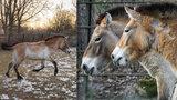 Krásky Helmi a Hanna dorazily do pražské zoo: Klisny koně Převalského mohou brzy brázdit mongolské stepi