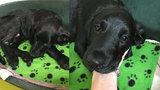Hororová zpráva veterináře: Týrané štěňátko Marley mělo otok hlavy a nebylo schopné chůze!