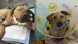 Týraný Ronny musel znova na operaci. Veterináři mu odstranili poraněné oko