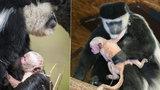 Radost v pražské zoo: Gueréze Lucii se narodilo miminko! Roztomilou opičku ostatním hned půjčila