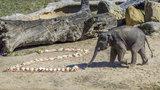Max v Zoo Praha oslavil druhé narozeniny. Veselo bylo také u orangutanů