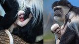 V zoo se chystají opičí křtiny! Čtenáři Blesku vybrali jméno pro mládě guerézy pláštíkové