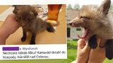Myslivec zabil lišku i s mláďaty, jedno přeživší nabízel v hospodě: Zákon prý neporušil