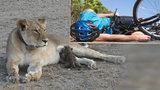 Cyklista na Vsetínsku smetl lvici! Muž skončil v nemocnici