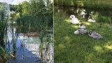 Ve Stromovce umírají vodní ptáci: Mohou za to neukáznění lidé?