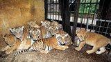 Berouskův zoopark, kde umírali tygři, je stále zavřený. Veterináři pro přeživší šelmy shání náhradní ubytování