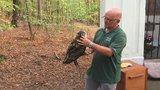 VIDEO: Děti a ošetřovatelé dali sbohem sovím sourozencům: Dva výry velké vypustili do přírody po třech měsících v zajetí