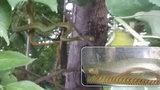 VIDEO: Už ji mají! Jedovatou mambu uviděla žena v koruně stromů v zahrádkářské kolonii v Hlubočepích