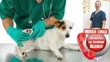 VIDEO: Které psí plemeno má největší problémy s klouby a pohybem? Kolik stojí léčba? Na Horké lince odpovídal veterinář