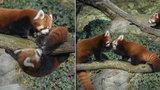Lekce na větvi v Zoo Praha: Když vychovává táta panda, končí sranda! Flin občas slízne pohlavek