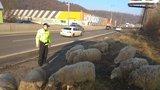 VIDEO: Stádo ovcí zmateně pobíhalo po rušné silnici a ohrožovalo řidiče! Zahnali je strážníci na koních