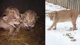 Zoo se brání: Za smrt lvíčat nemůžeme. Po krmení z flašky by je matka zavrhla