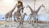 V pražské zoo se narodila žirafí slečna. Dnes se poprvé přidala ke zbytku stáda
