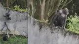 Vychytralí šimpanzi utekli ze zoo. Návštěvníky pořádně vyděsili