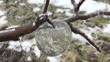 Mrazy vytvořily na stromech jablka z ledu. Záhadný jev zkoumali experti po celé zemi